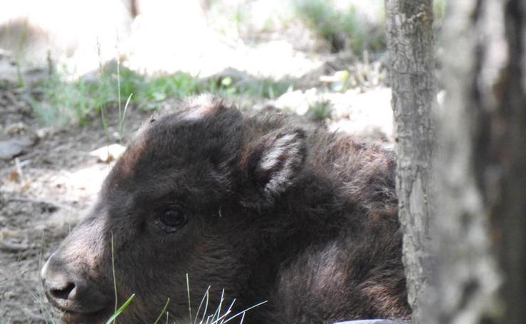 Nace un nuevo bisonte en el Museo de la Fauna Salvaje