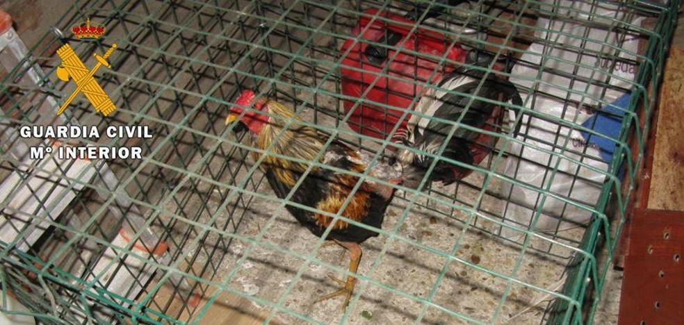 Trece detenidos por la celebración clandestina de peleas de gallos en una nave de Tordesillas