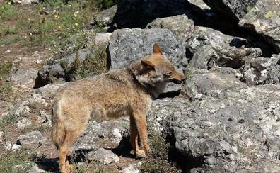 Grupos ecologistas denuncian el atropello de 22 ejemplares de lobo ibérico en la A-1 en el tramo entre Madrid y Segovia