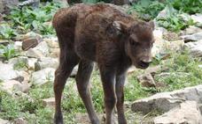 Y finalmente triunfó Sancha: el nuevo bisonte leonés ya tiene nombre