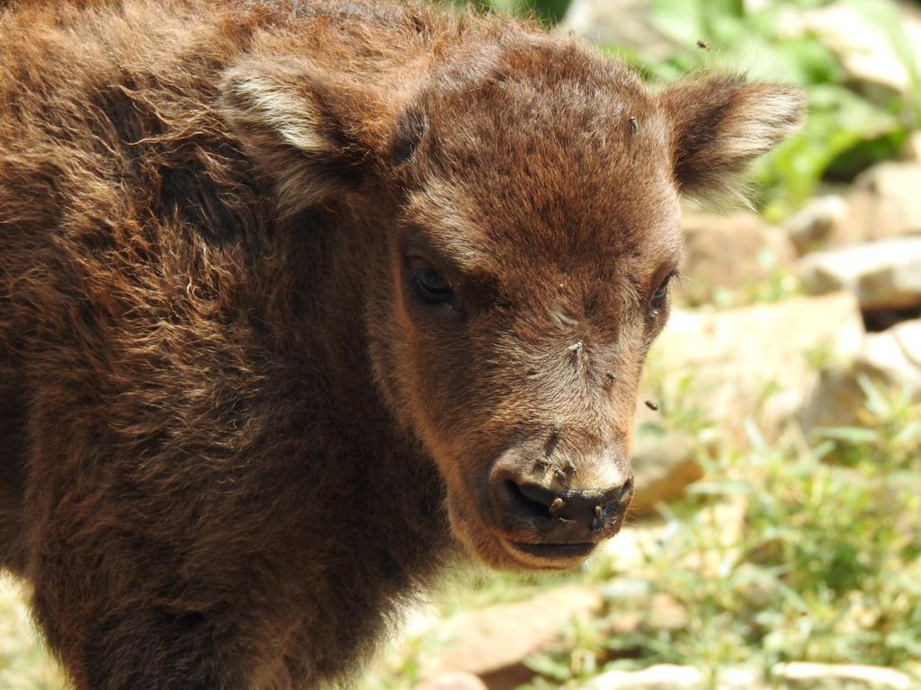 Y finalmente triunfó Sancha, el nuevo bisonte leonés ya tiene nombre