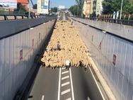 Paso de 1.500 ovejas por León capital