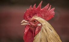 El Ayuntamiento de Aranda da la razón a una vecina en su queja contra los 'decibelios' excesivos de un gallo