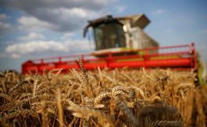 El rendimiento de trigo en secano caerá un 40% pero las lluvias garantizan un desarrollo estable en los regadíos