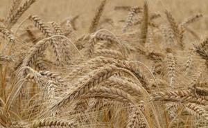 Más de 7.000 agricultores de cereal de Castilla y León recibirán 23,72 millones de indemnización por la sequía
