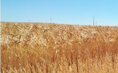 Asaja pide la exención en el royalty de las semillas debido a las pérdidas por la sequía