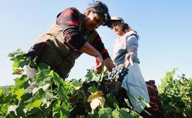 Asaja advierte que el censo oficial de hectáreas de viñedo en León esta inflada y duplica la realidad
