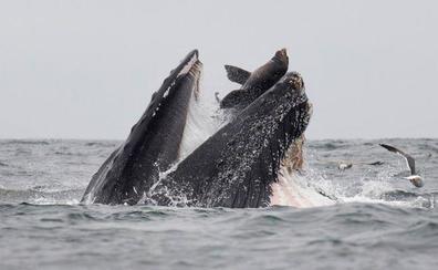 La insólita foto de una ballena capturando un león marino