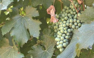 Las Denominaciones de Origen leonesas confían en cosechar más de quince millones de kilos de uva