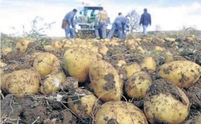 UCCL denuncia un desplome del precio de la patata en la Comunidad por «bulos intencionados» y un «arranque temprano»