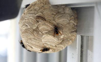 Destruyen con explosivos los nidos de avispa asiática en Asturias