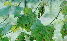 La Estación de Avisos del Bierzo advierte de la proliferación de la polilla que ataca el racimo de la vid en Toral de los Vados