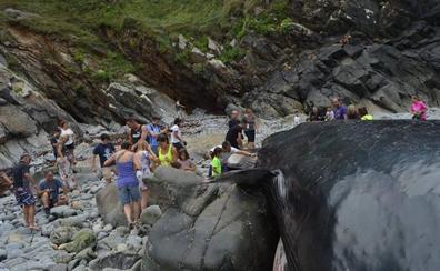 Encuentran en Tapia de Casariego (Asturias) una ballena varada de 21 metros y 30 toneladas