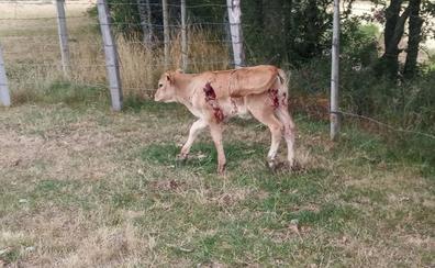 Los lobos atacan una explotación ganadera de Valberzoso en la Montaña de Palencia