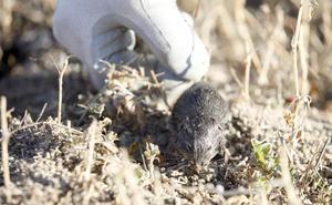 La UCCL califica de «totalmente insuficientes» las actuaciones de la Junta contra los topillos, tras constatar más roedores