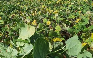 Los 50 productores de La Bañeza esperan superar las 700 toneladas de alubia a pesar de la amenaza de 'grasa'
