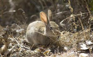 UCCL alerta de una situación «insostenible» por el incremento «desmesurado» de conejos en amplias zonas de la Comunidad