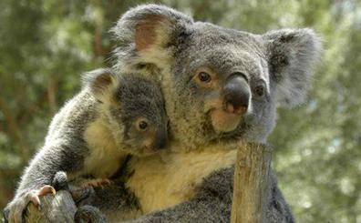 Heces de koala para salvar su hábitat