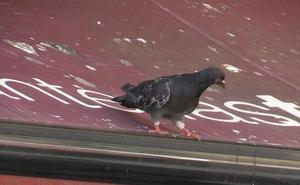 San Andrés pondrá en marcha medidas de control sobre las palomas en los puntos con riesgo para la salud pública