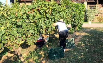 Las uvas para el Xamprada empiezan a entrar en la bodega del Palacio de Canedo en el Bierzo