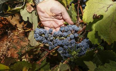Las lluvias de las últimas fechas llevarán a recoger en León 2.000 kilos más de uva que en 2018
