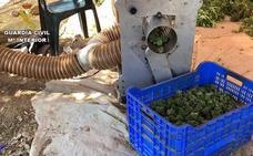 La Guardia Civil desmantela en Alcuéscar la mayor plantación de marihuana de Extremadura