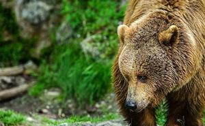 Sorpresa y susto en Villablino: un oso pardo 'baja' al pueblo para buscar comida en un contenedor