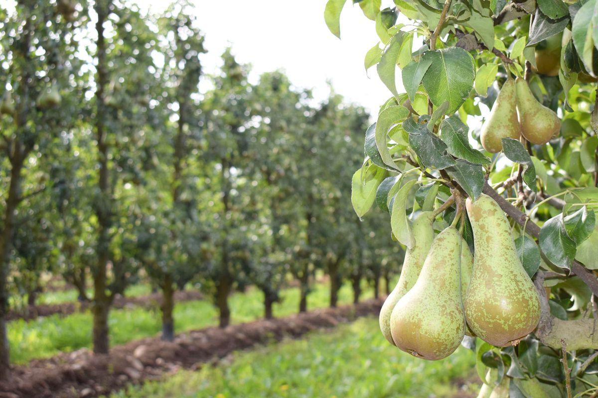 Los agricultores del Bierzo prevén pérdidas de entre el 30 y el 50% en la recogida de manzana reineta y de pera conferencia