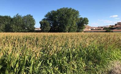 La región recupera 17.600 hectáreas de maíz en un año que se espera bueno