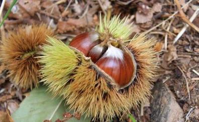 El cultivo del castaño: valor económico, ecológico y cultural