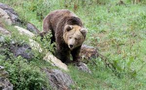 Villablino cambia la recogida de la basura para evitar que los osos acudan a la zona urbana