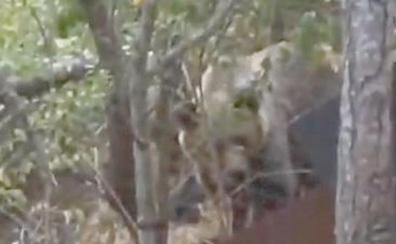 Los osos repiten 'excursión' en Villablino