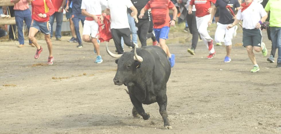 Miles de personas arropan en Tordesillas un rápido Toro de la Vega