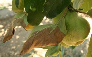 La Estación de Avisos alerta de la presencia de fuego bacteriano en las plantaciones de frutales del Bierzo