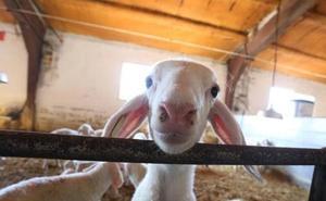Unanimidad en la propuesta del PSOE para que la Junta tome medidas de apoyo al sector ovino de leche