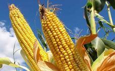 KWS presenta en el Páramo leonés la genética de maíz más adaptada a la provincia