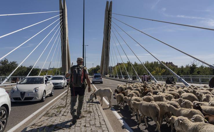Un rebaño de 2.000 ovejas 'toma' Valladolid