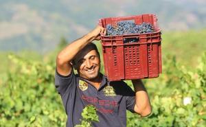 La DO Bierzo cierra la vendimia con la recogida de 13 millones de kilos de uva de «excelente calidad»