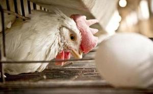 La Audiencia de Palencia condena de 15 meses de prisión a un hombre que dejó morir de hambre a 2.900 gallinas