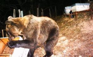 Fomento convoca ayudas para comprar pastores eléctricos que compensen los daños en colmenas de oso pardo