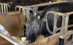 Muere Kaga, la primera vaca clonada del mundo