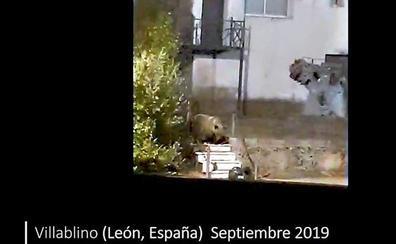 La Fundación Oso Pardo reclama tomar medidas para evitar que los osos se habitúen a comer basura humana