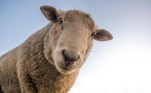 Los ganaderos auguran un incremento del precio del ovino de leche y piden que sean «dignos» para recuperar pérdidas de los últimos años
