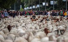 Más de 2.00 ovejas superan Madrid en la Fiesta de la Transhumancia