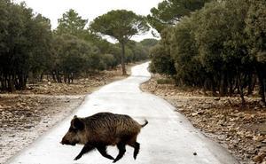 La fauna salvaje causa 167 accidentes de tráfico en León y daña más de 1.000 hectáreas en 2019