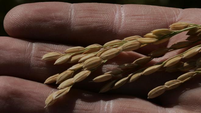 Salvado de arroz contra la obesidad