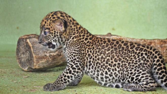 Nace una cría de leopardo de Sri Lanka en el Bioparc de Valencia
