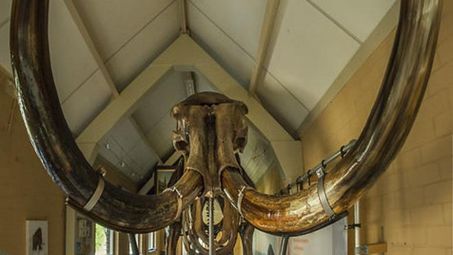 Subastan un esqueleto completo de un enorme mamut lanudo