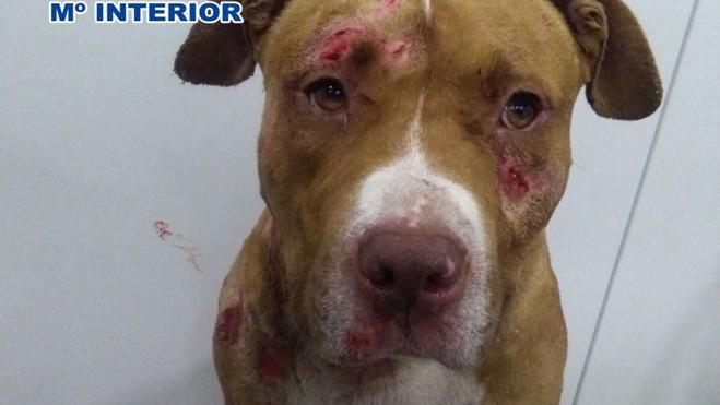 Cinco detenidos por organizar peleas de perros