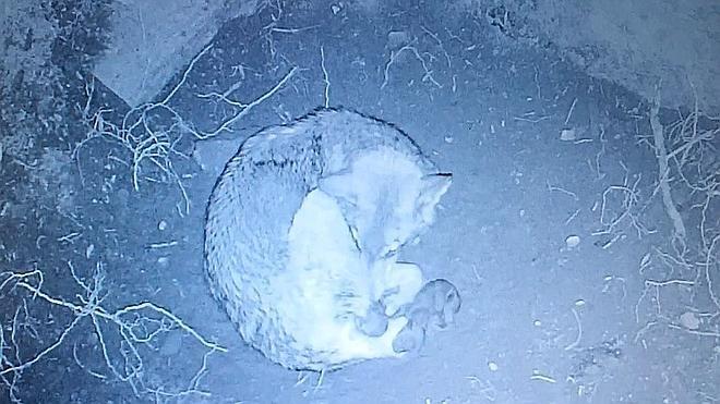 Nacen los primeros cachorros en el Centro del lobo ibérico